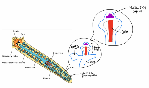 Excretory Systems In Flatworm Earthworms And Vertebrates Animal